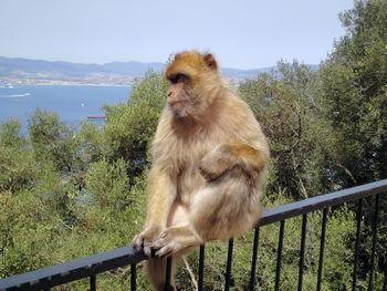 Affen muss man wirklich nicht suchen am Upper Rock.