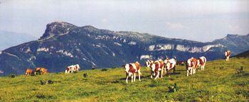 Rindviecher und la Moucherotte