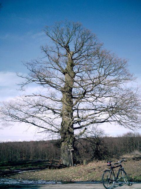 Kimbacher Odenwaldbaum.